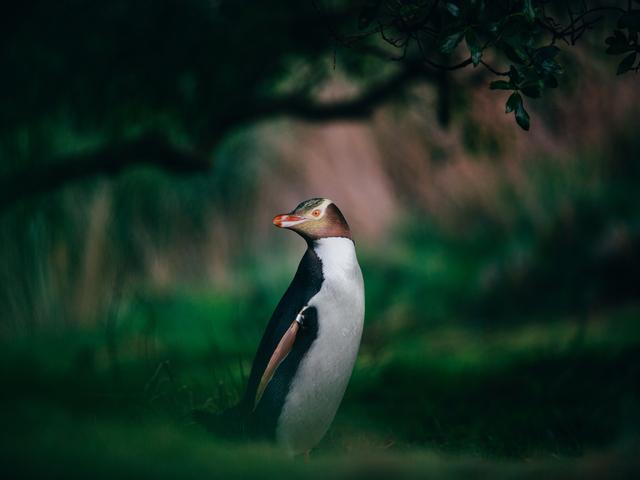 Chris Stephenson Penguin Dunedin